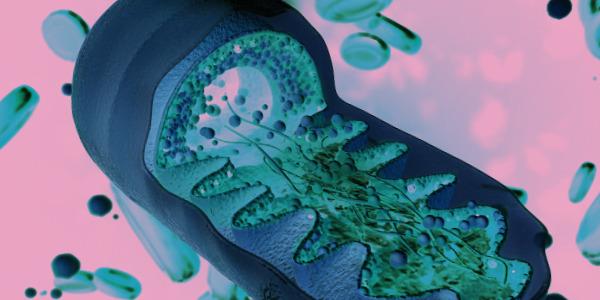 Mitochondria – elektrownie w komórce